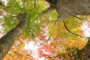 伊豆市修善寺「モミジ林」紅葉の大樹を見上げる