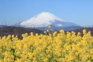 神奈川「吾妻山公園」菜の花と冠雪の富士