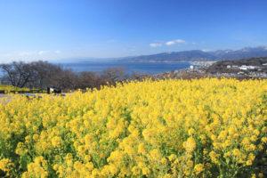 神奈川「吾妻山公園」菜の花越しに伊豆半島を望む