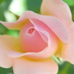 クローズアップ写真「ボケ効果美しい花光景」透明感あるバラ