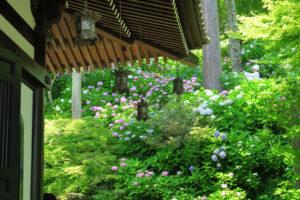 鎌倉「長谷寺 のアジサイ」経堂脇のアジサイ群