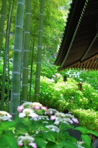 鎌倉「長谷寺 のアジサイ」経堂脇の竹林とアジサイ