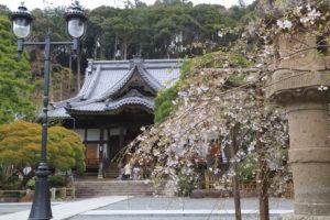 修善寺「修禅寺」本堂前の桜光景
