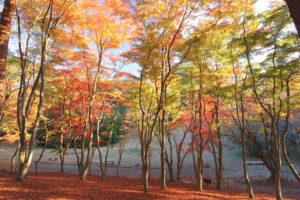 伊豆市修善寺「モミジ林」早朝のモミジ林