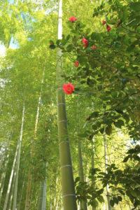 修善寺「竹林の小径」椿が映える小径