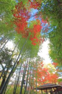 修善寺「竹林の小径」紅葉とのコラボ光景