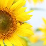 クローズアップ写真「ボケ効果美しい花光景」ひまわりと蜜蜂