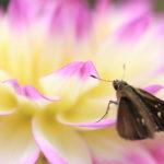クローズアップ写真「ボケ効果美しい花光景」ダリアとセセリチョウ
