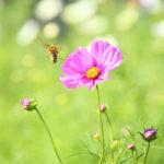 クローズアップ写真「ボケ効果美しい花光景」コスモスと蜜蜂