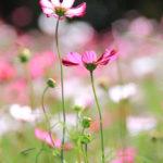 クローズアップ写真「ボケ効果美しい花光景」コスモス