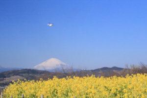 神奈川「吾妻山公園」菜の花畑上を舞うヘリコプター