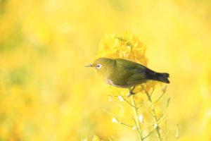 神奈川「吾妻山公園」菜の花とメジロ