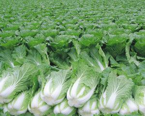 冬の代表的な野菜「白菜」